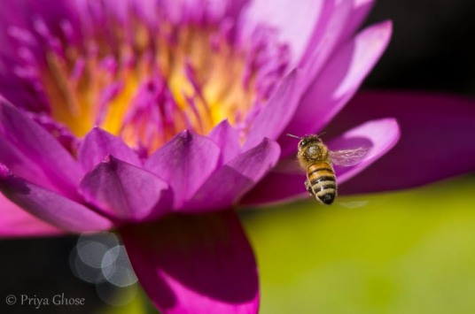 In Search Of Waterlily Pollen