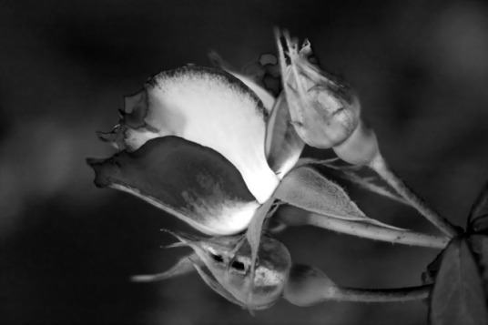 Rose and buds 2 bw