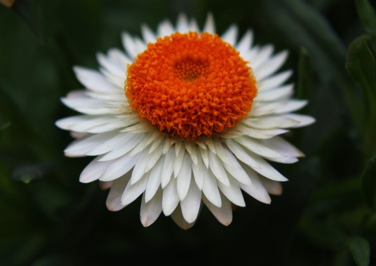 9.21.14.strawflower.jpeg