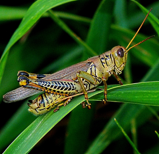 Male Differential Grasshopper.  Photo by Thomas Peace 2014