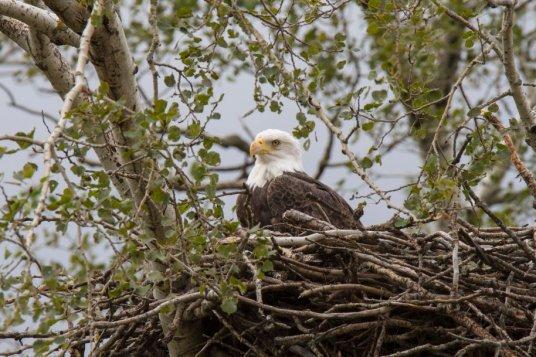 original eagle