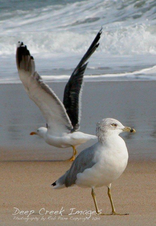 rob paine birds at the beach