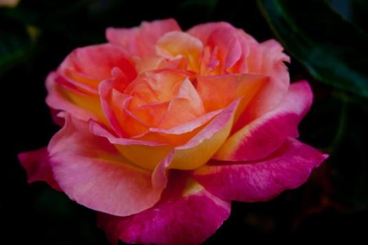 Rose pink yellow