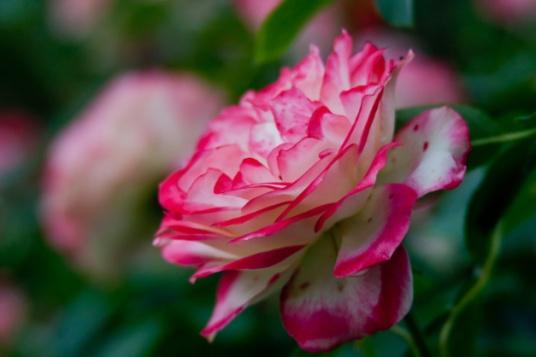 Rose vari 9