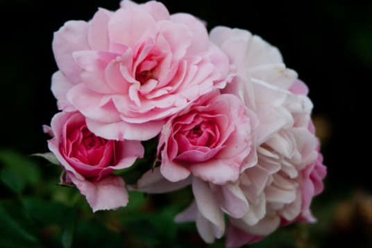 Roses pink cluster 2