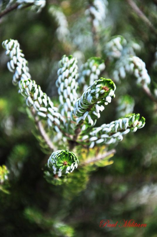 tasmanian pine