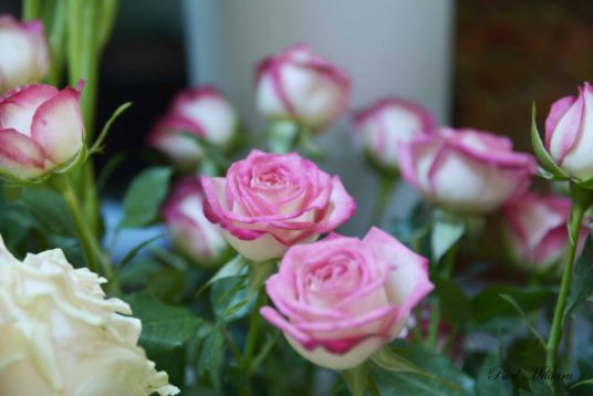 white & pink roses