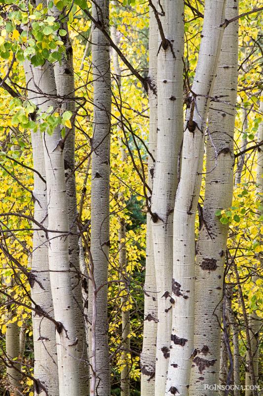 Aspen Trees in Autumn Color Portrait View Art Print