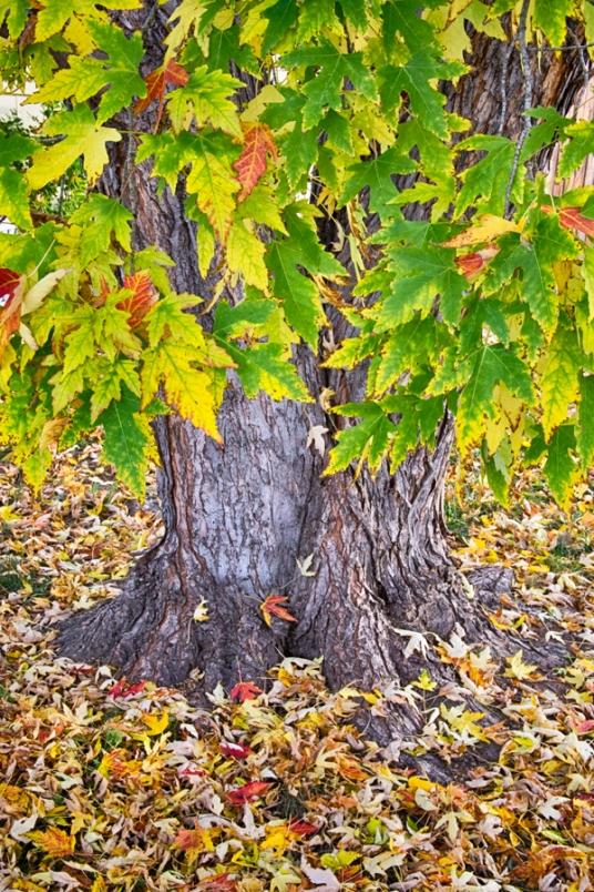 Mighty Maple Tree Print